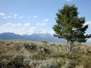 """Lone Cowboy"" tree against a backdrop of the Tetons"