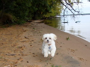 Max (with new 'do) bounding up and down beach by Wisconsin River.