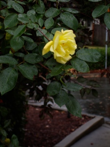 A rose at nose height in Kirkland, Washington
