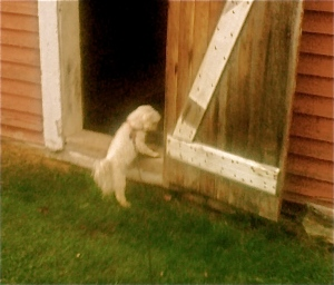 Maxie caught sneaking into the henhouse.